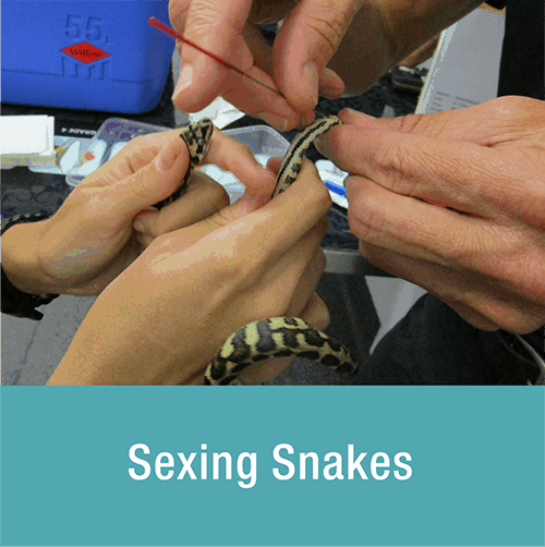 sexing-snakes